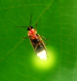 firefly insect wallpaper
