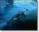 Pinguim Bolhas de ar