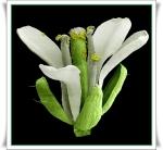 Planta Mostarda