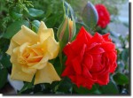 Flores_Rosa_Amarela