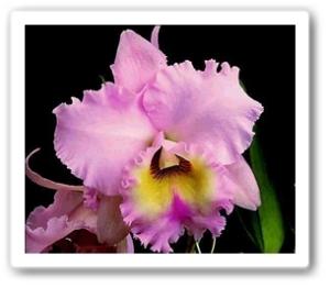 Planta_Orquidea